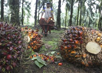 Kelapa sawit. (Reuters)